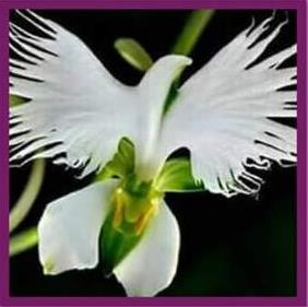 An Orchid Species Called Flower Of The Holy Spirit Starts Blooming During Pentecost Each Year